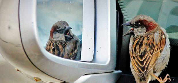 Bird seeing itself in car mirror (Flickr Christian Ştefănescu)